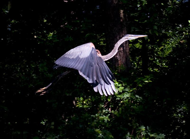 great-blue-heron-in-flight-1_3684003285_o.jpg