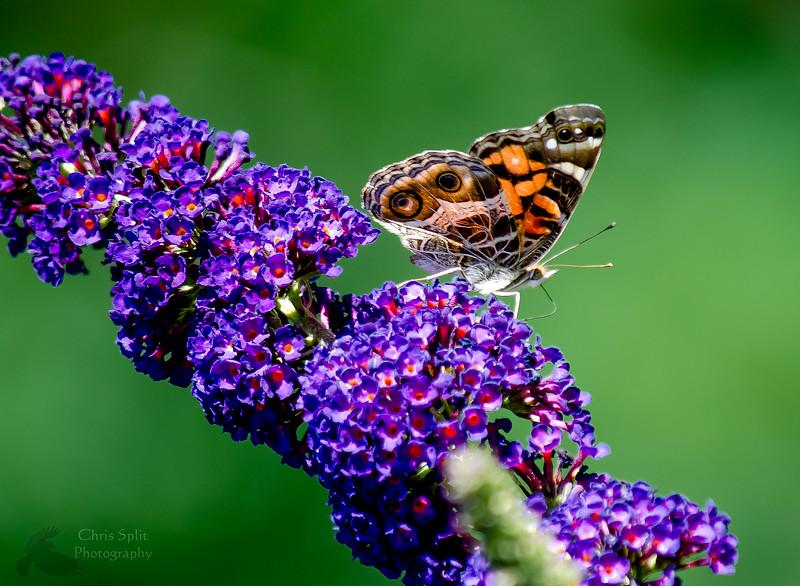 butterfly on flower .jpg
