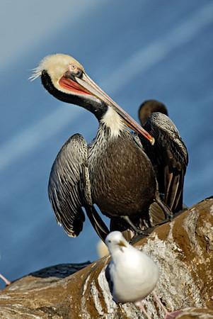 Pelicant, La Jolla Cove 2.jpg