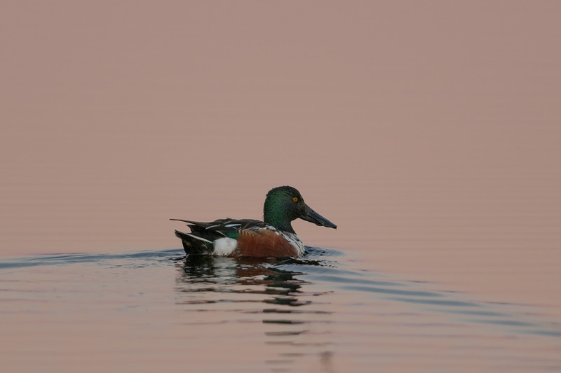 Northern Shoveler Drake at Sunset.jpg
