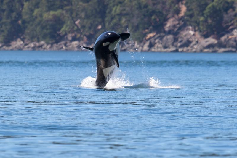 Orcas -  073115-278.jpg