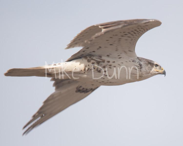 Ferruginous Hawk-84