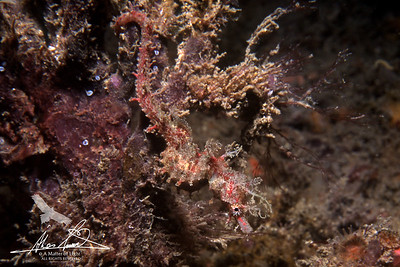 Seahorses, Pipehorses, Seadragons and Pipefishes