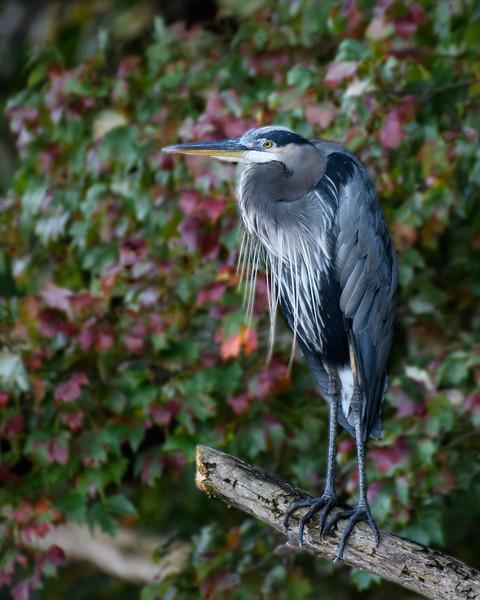 Great Blue Heron -1085.jpg
