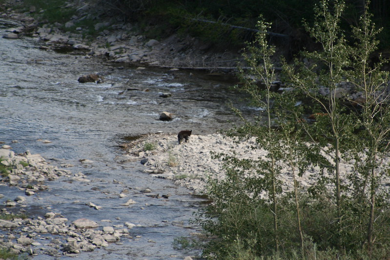 20110828 - 084 - GNP - Sow And 3 Bear Cubs Along Road By Many Glacier Hotel.JPG