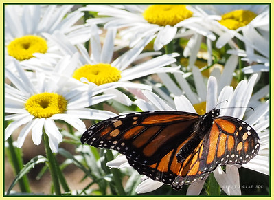 PRINT-COLOR-MASTER-SILVER-MONARCH RESTING ON DAISIES-PAT JONES
