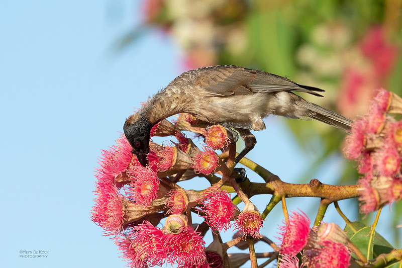 Noisy Friarbird, Townsville, QLD, Jan 2020-1.jpg