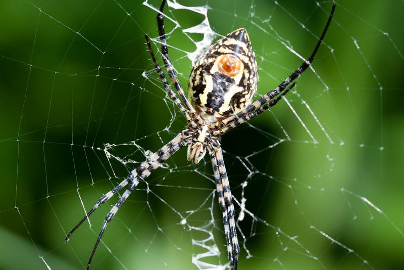 banded garden spider underside