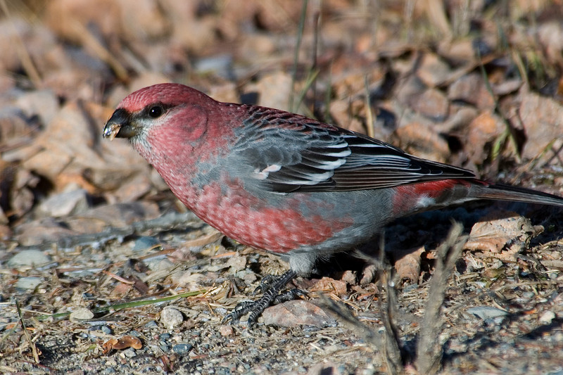 Grosbeak - Pine - male - Sax Zim Bog - MN