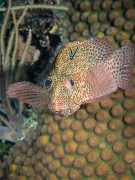 Rock Hind Ambergris Caye Belize-71.jpg