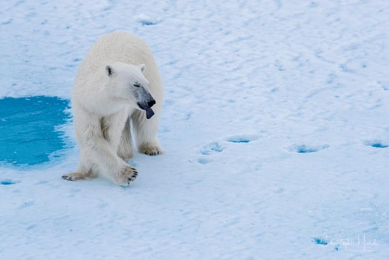 150630_Polar Bearx at Ship_9668.jpg