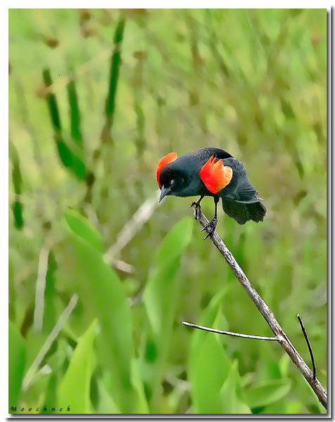 Red Shouldered Blackbird