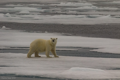 Svarlbard - Polar Bears and more in the Arctic