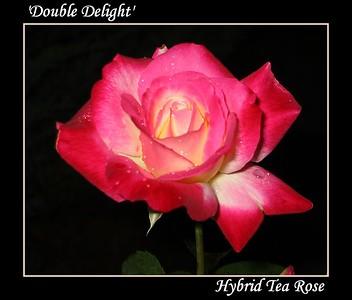 'Double Delight'