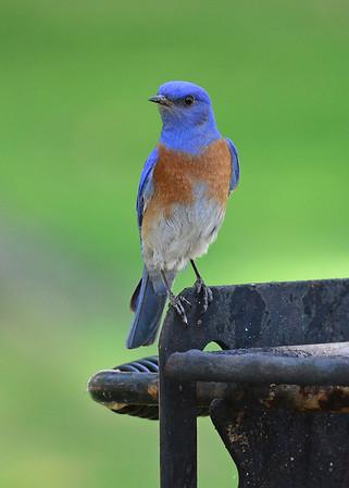 Bluebird, Western
