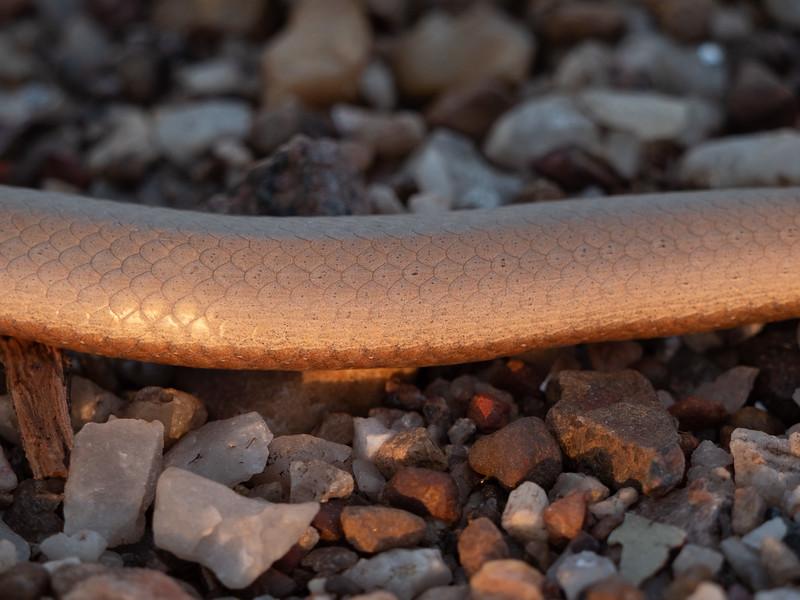 Burtons Legless Lizard at Fogg Dam