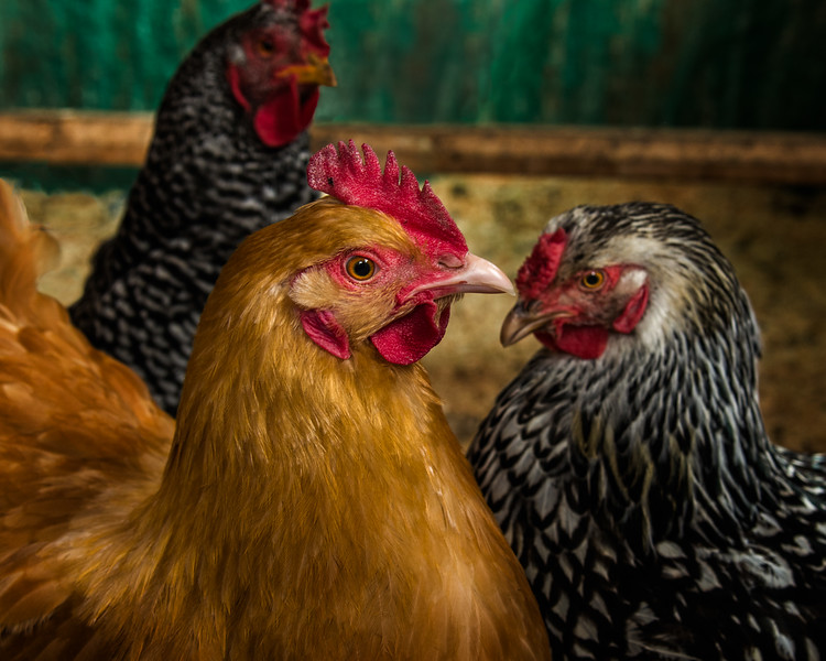 L to R: Barred Rock, Buff Orpington and Silver Laced Wyandotte