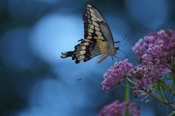 Butterflies, bees, and other insects