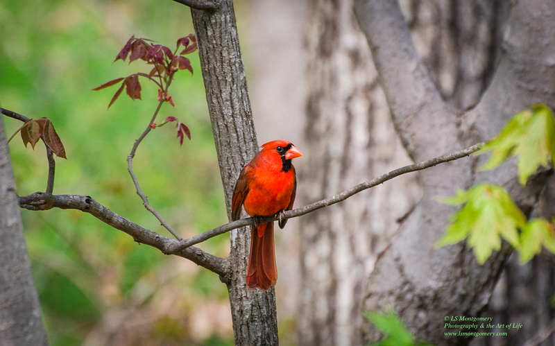 Love My Cardinals