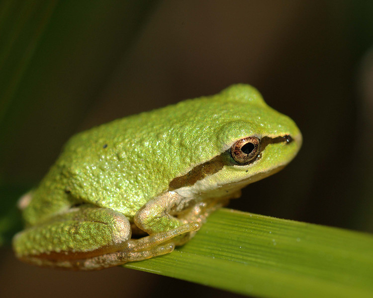 Brigt green tree frog on Vancouver Island.
