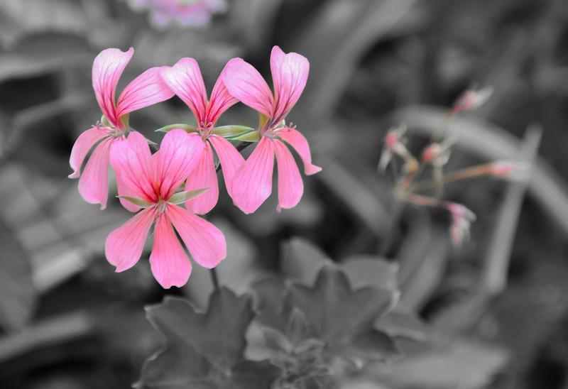 DSC_8327 r Pink on BW.jpg