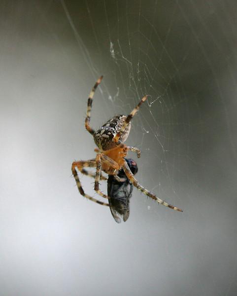 9355 Spider & Meal.jpg