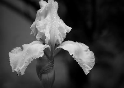 Iris Black & White