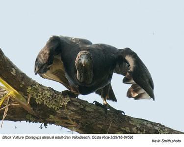Black Vulture A84526.jpg