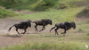 Wildebeest on the move