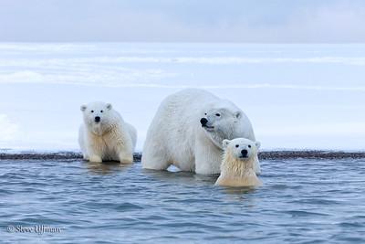 Polar Bears-Kaktovik Alaska