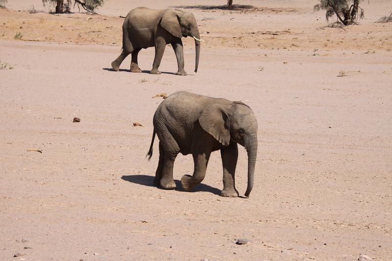 Juvenile desert elephant