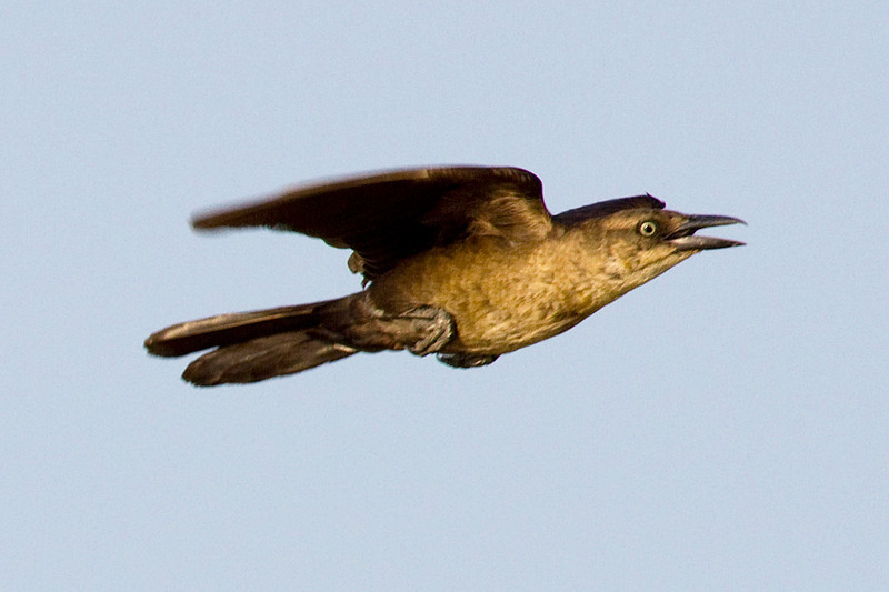 A grackle in flight over Brays Bayou, Houston