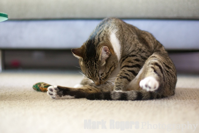 tabby cat licking itself