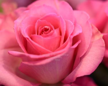 02/16/19 Valentine Roses