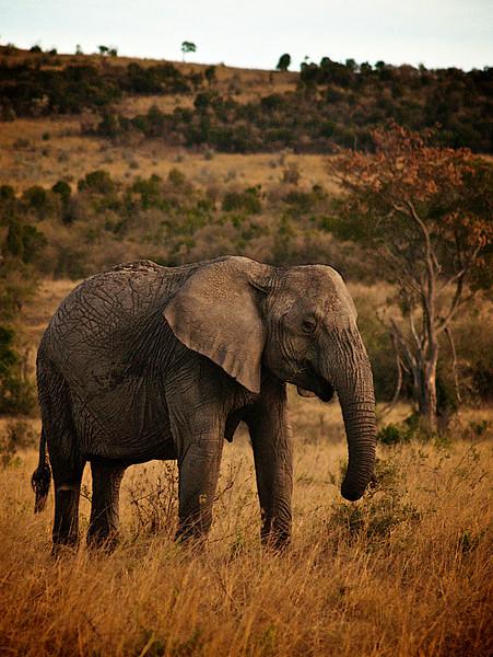 Noen sier at elefanten er blant de klokeste dyrene, og man kan fort den følelsen når man ser roen i bevegelsene og klokskapen i blikket. Masai Mara, oktober 2006. *** Some say that the elephant is the wisest of the animals. I find that credible, seeing it's slow movements and the sensible look in their eyes. Masai Mara, October 2006. (Foto: Geir)