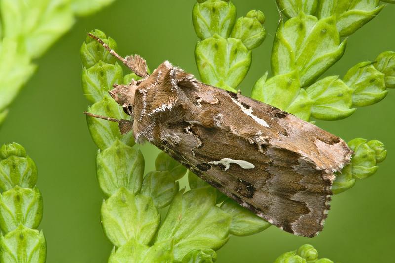 Looper moth