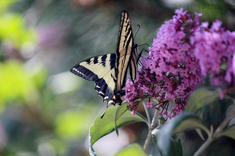 2015-06-26 My Garden and Butterflies 036.JPG