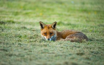 Foxes Gravenhurst