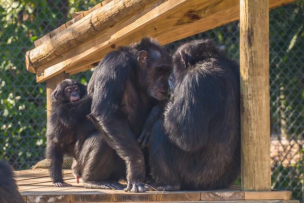 Chimpanzees Family