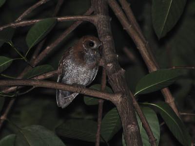 Puerto Rican Screech-Owl (Megascops nudipes) El Yunque National Forest, Puerto Rico, April 2012