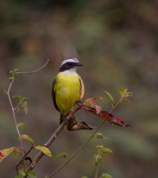 Great Kiskadee near San Blas 2013 03 13 (1 of 1).CR2