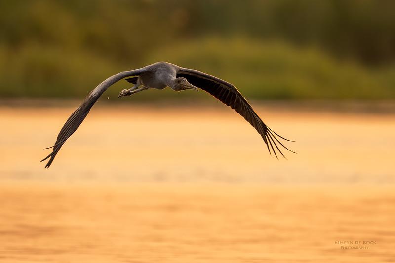 Yellow-billed Stork, imm, Chobe River, NAM, Oct 2016-6.jpg