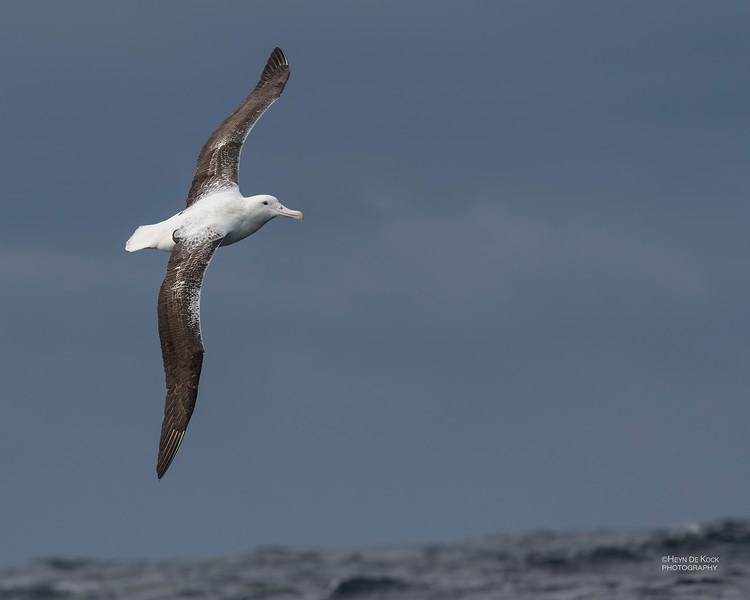 Southern Royal Albatross, Eaglehawk Neck Pelagic, TAS, Dec 2019-2.jpg