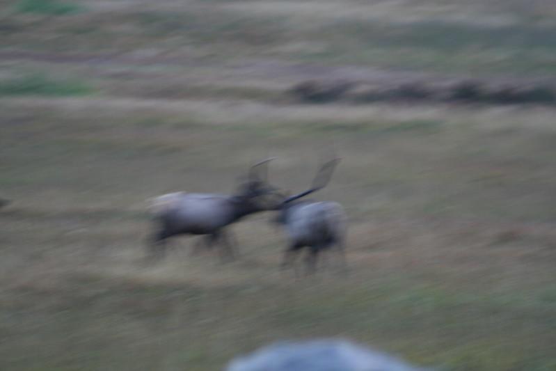 20080911-07 - Rocky Mountain NP - 04 (Fuzzy) Elk.JPG