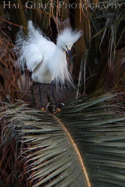 Snowy Egret Newark, California 1304N-SE33