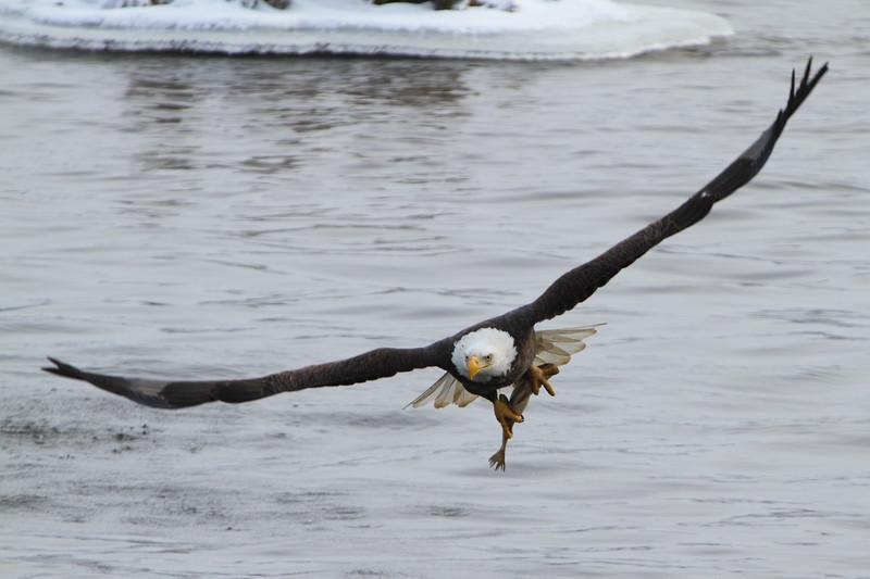 Loc-n-Dam 14-Eagles-Jan 2011_0024.jpg