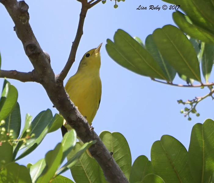 Yellow Warbler  - 11/10/2017 - Crown Pointe (east)