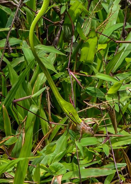 Green-Vine-Snake-hunt-02.jpg
