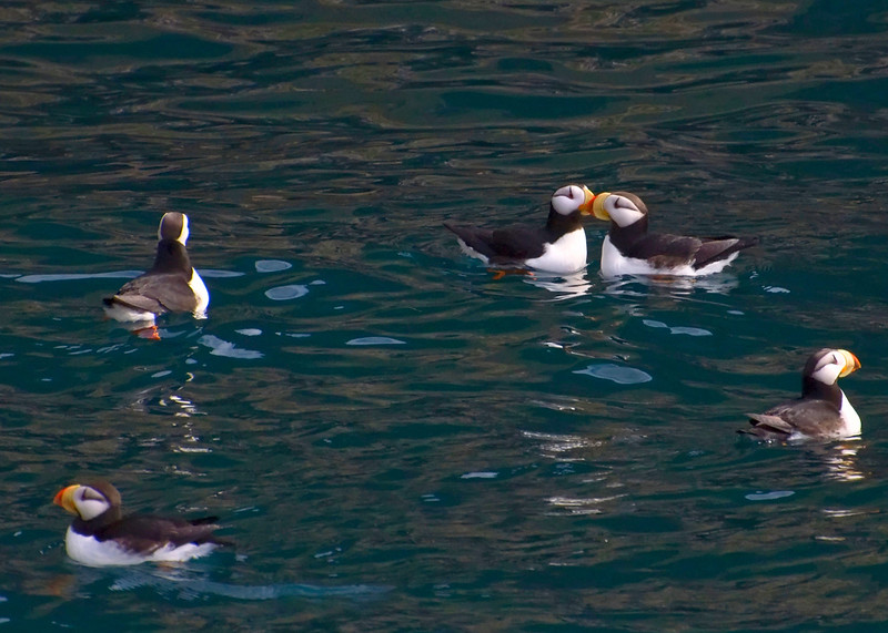 Puffins being cute!