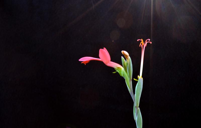 Gladiolus splendens